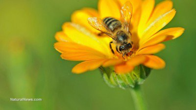 Honey-Bee-On-Flower-Pollin-400x225