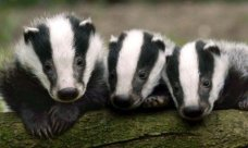 Badger-cubs-in-the-Westco-001_-_Copy-400x240
