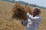 farmer-with-wheat-harvest-2-400x266
