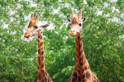 two-giraffes-871277133292ixuu-400x266
