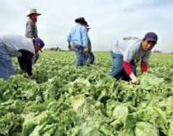 latino-farm-workers