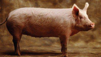 pig-400x224